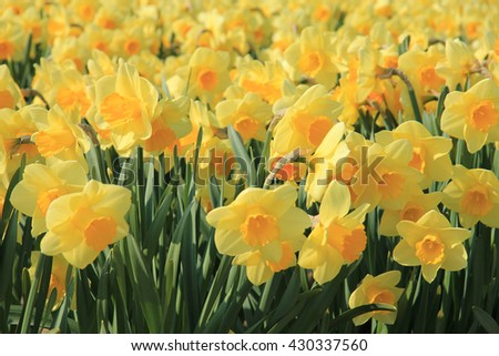 yellow daffodils in full sunlight, Dutch floral industry - stock photo