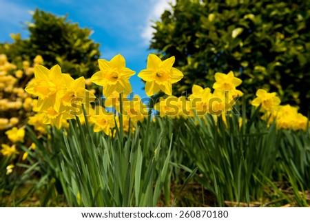 yellow Daffodils in the garden - stock photo