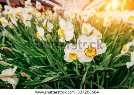 Yellow Daffodils in the gardens of Holland. - stock photo