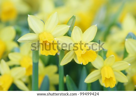 yellow daffodils in the spring. Shallow depth of field--selective focus on foreground - stock photo