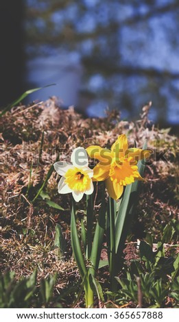 Yellow daffodils (narcissus) flowers. - stock photo