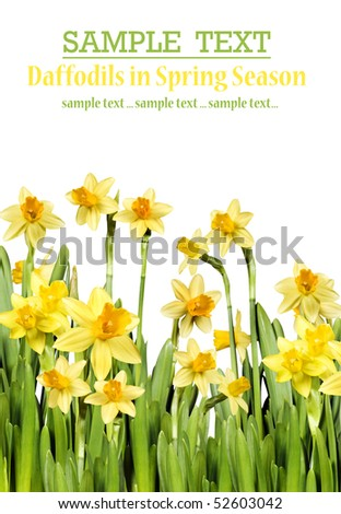 Yellow daffodils on a pure white background with space for text - stock photo