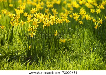 Yellow daffodils, spring flower - stock photo