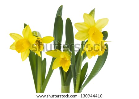 Yellow Daffodils tube isolated on white background - stock photo