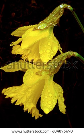 Yellow Daffodils with water droplets