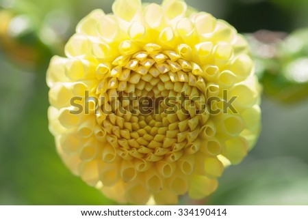 Yellow dahlia - blossom - top view - stock photo