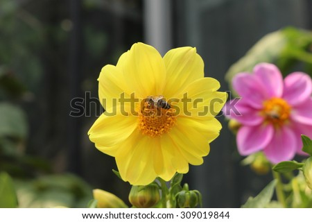 """Yellow """"Dahlia Chessy Lilliput"""" flower with a bee in Innsbruck, Austria. It is classified as """"Single Flowered Dahlia"""" and native to Mexico.  - stock photo"""