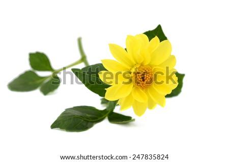 Yellow dahlia flower (America flower) isolated on white background  - stock photo