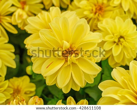 yellow dahlia flower closeup in the garden