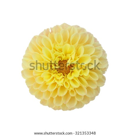 Yellow dahlia isolated on white background - stock photo