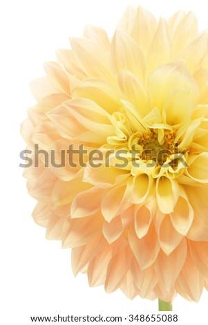 Yellow dahlia isolated on white background   - stock photo