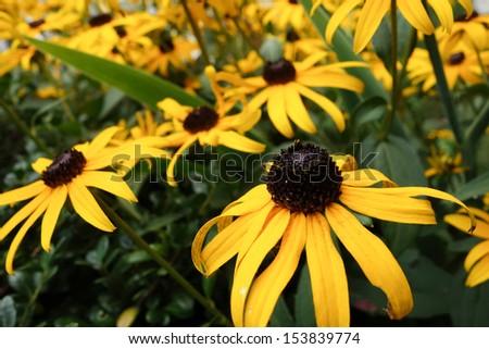 Yellow daisies - stock photo