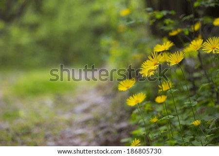 Yellow daisies and path in the forest in spring - stock photo