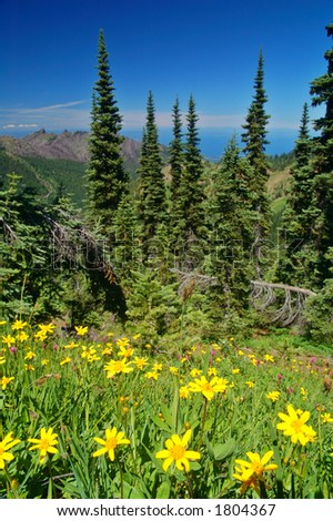 Yellow Daisies in Olympic National Park - stock photo
