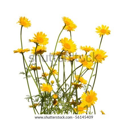 yellow daisies, isolated - stock photo