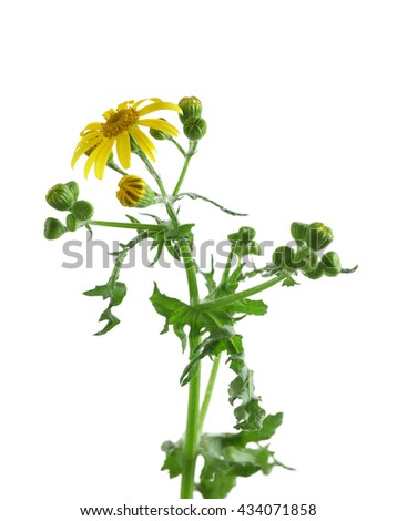 Yellow daisies, isolated on white - stock photo