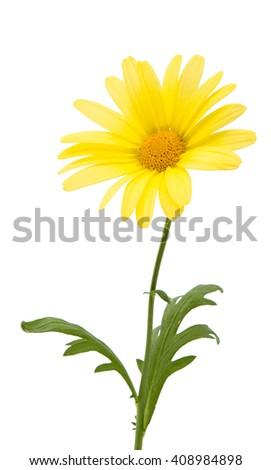yellow daisies isolated on white background... - stock photo