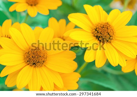 Yellow daisies. Yellow daisies on a green, blurred background. Selective focus on the center of the flower. Flower.