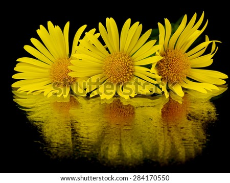 Yellow daisy (Doronicum) flower on a black background with reflection - stock photo