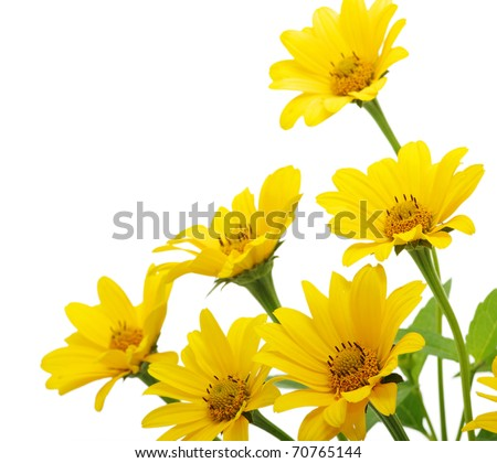 yellow daisy flower isolated on white - stock photo