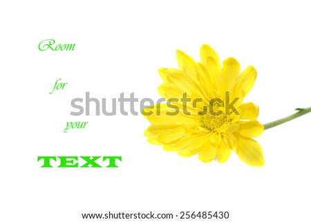 Yellow daisy flower isolated on white with copy space - stock photo