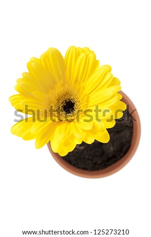Yellow daisy flower pot isolated on white background