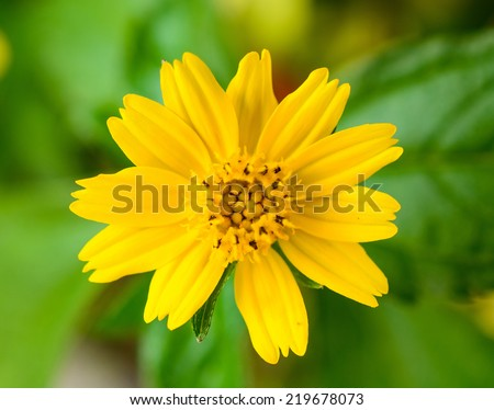 Yellow Daisy Flowers in morning