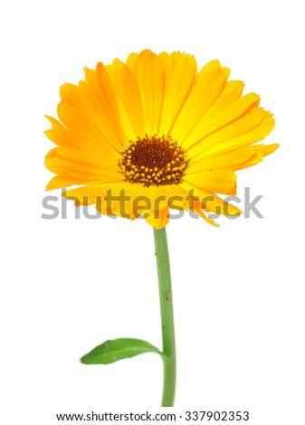 Yellow daisy-gerbera  isolated on white.