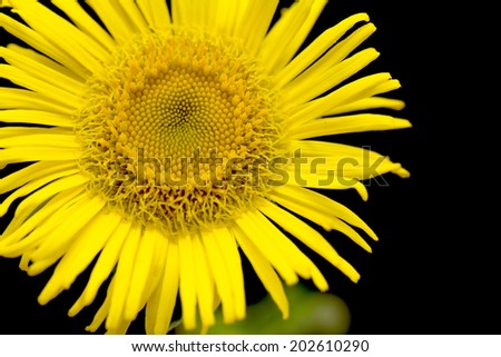 Yellow daisy looking like sunflower