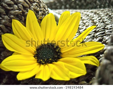 Yellow Daisy on a Brown Hat