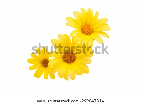 yellow daisy on a white background - stock photo