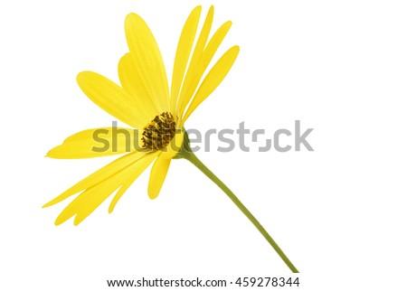 yellow daisy Osteospermum isolated on white - stock photo