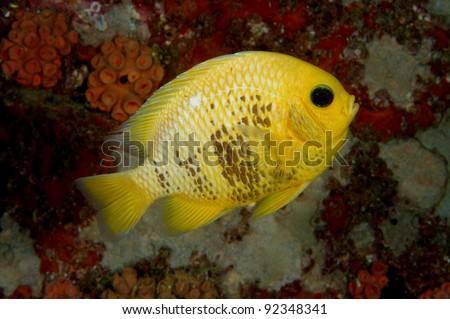 Yellow damsel fish - stock photo
