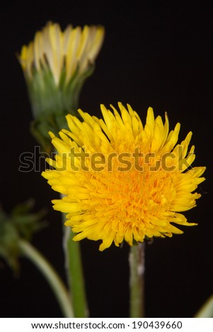 Yellow dandelion close up  - stock photo