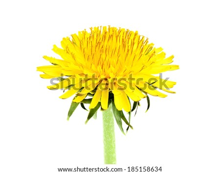 Yellow dandelion closeup isolated a white background.