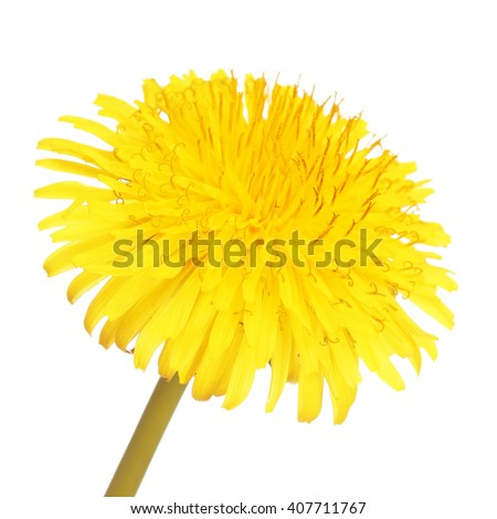 Yellow Dandelion Flower Isolated. Taraxacum officinale