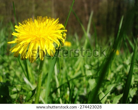 Yellow dandelion flower with leaves in green grass, spring photo Flowering meadow,Green background.