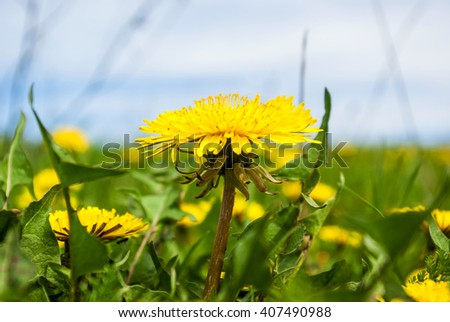 Yellow dandelion flowers - stock photo