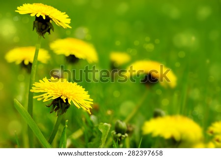 Yellow dandelion flowers  growing on the summer meadow.