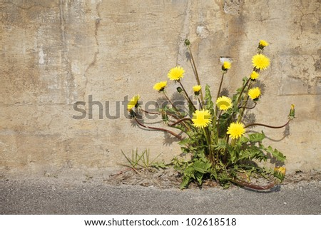 Yellow dandelion flowers growing trough asphalt in sunlight. - stock photo