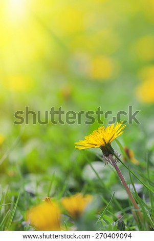 yellow dandelion flowers in meadow. Spring concept. - stock photo