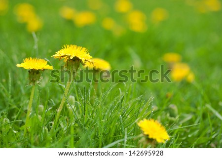 yellow dandelion flowers invading a green lawn in Canada in spring - stock photo