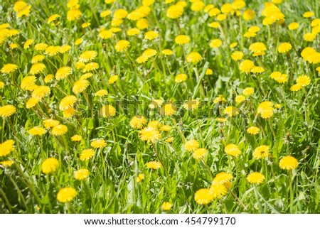 yellow dandelion flowers on a Sunny day  - stock photo