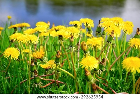 Yellow dandelion flowers with leaves in green grass. Lithuania. - stock photo