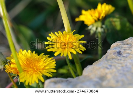 Yellow dandelion flowers with leaves in green grass, spring photo. - stock photo