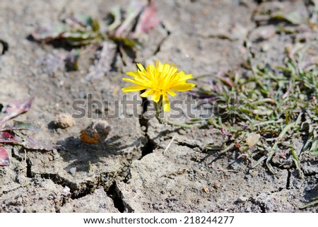 Yellow dandelion growing on scorched earth