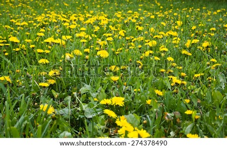 Yellow dandelion in a green grass field - stock photo