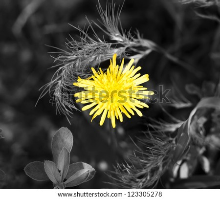 yellow dandelion in black and white grass - stock photo