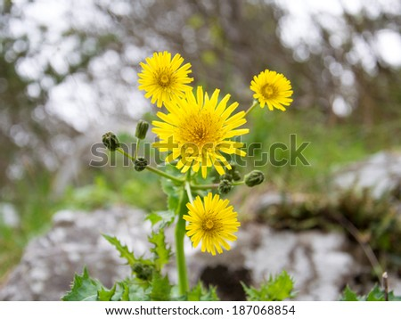 yellow dandelion in the mountains - stock photo