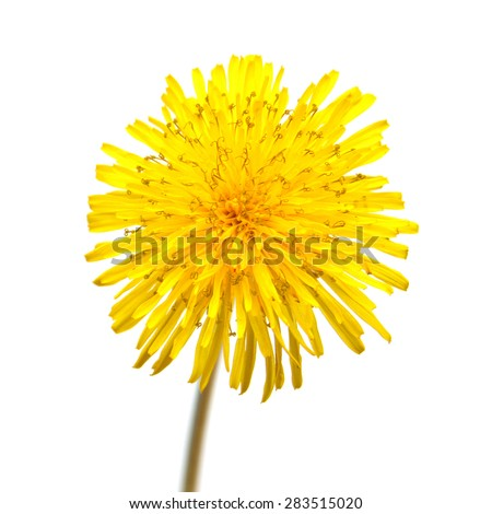 Yellow dandelion isolated on a white background